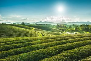 Beautiful landscape view of choui fong tea plantation with sunset at Maejan , tourist attraction at Chiangrai province in thailand